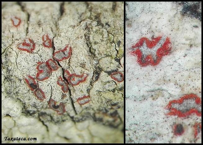 Arthonia cinnabarina Arthonia_cinnabarina