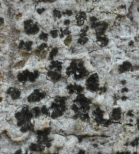 Arthonia leucopellaea Arthonia_leucopellaea