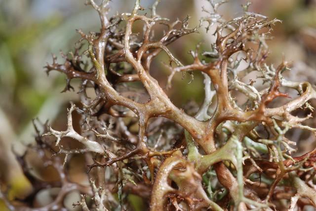 Cetraria aculeata Cetraria_aculeata