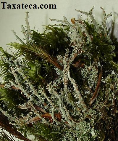Cladonia squamosa  Cladonia_squamosa