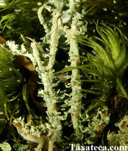 Cladonia squamosa  Cladonia_squamosa2