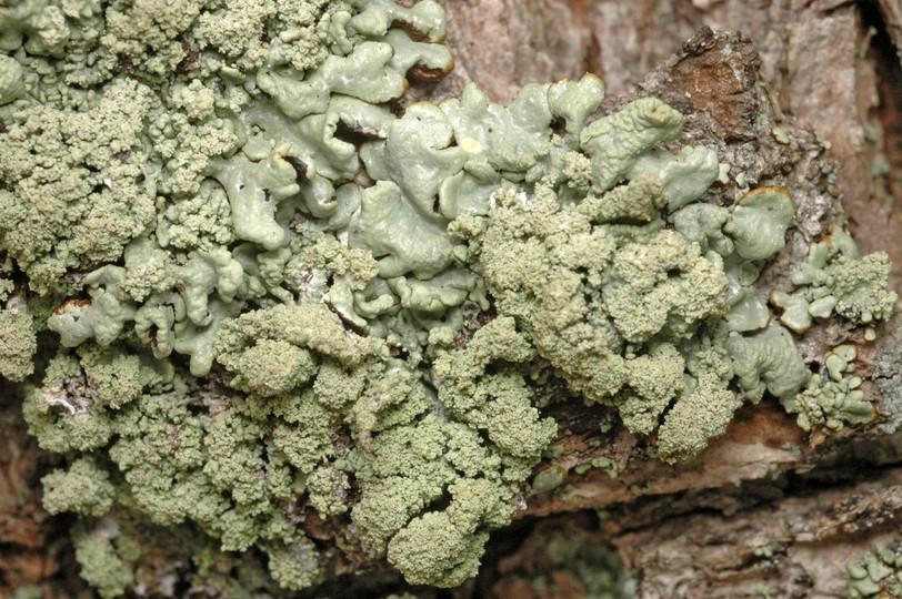 Hypogymnia farinacea Hypogymnia_farinacea2