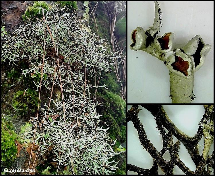 Hypotrachyna nepalensis Hypotrachyna_nepalensis