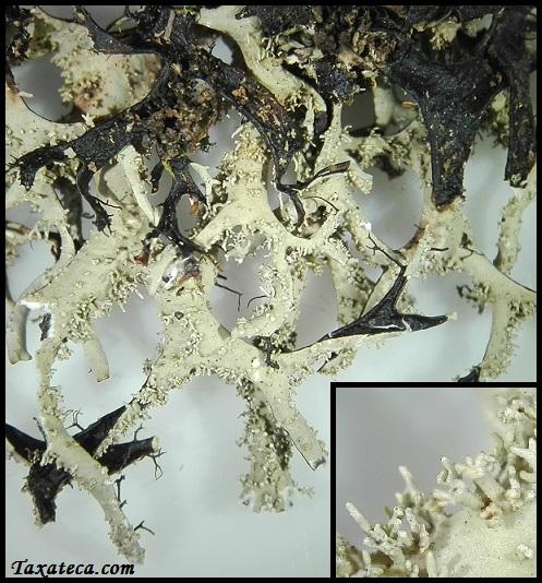Hypotrachyna vexans Hypotrachyna_vexans