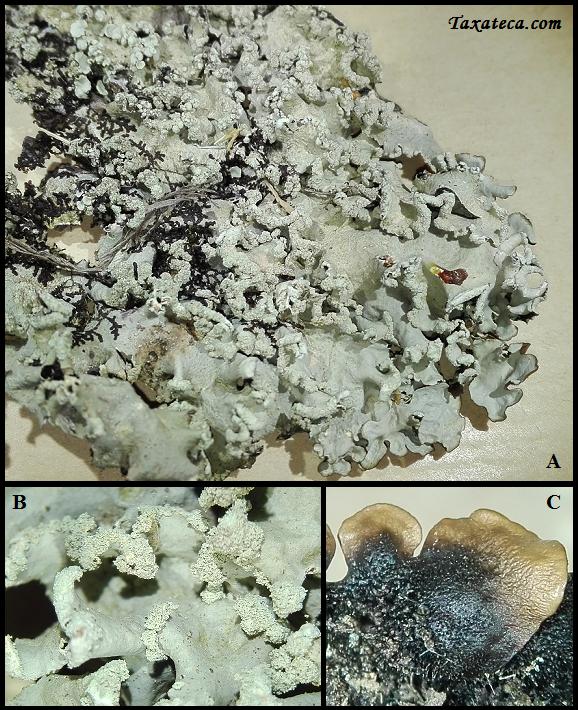 Parmotrema pseudoreticulatum Parmotrema_pseudoreticulatum