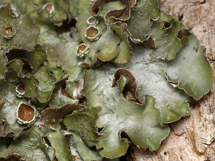 Pleurosticta acetabulum Pleurosticta_acetabulum