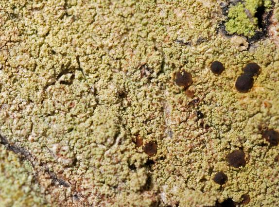 Pyrrhospora quernea Pyrrhospora_quernea
