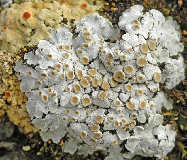Squamarina lentigera Squamarina_lentigera