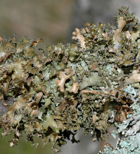Tuckermanopsis chlorophylla Tuckermanopsis_chlorophylla