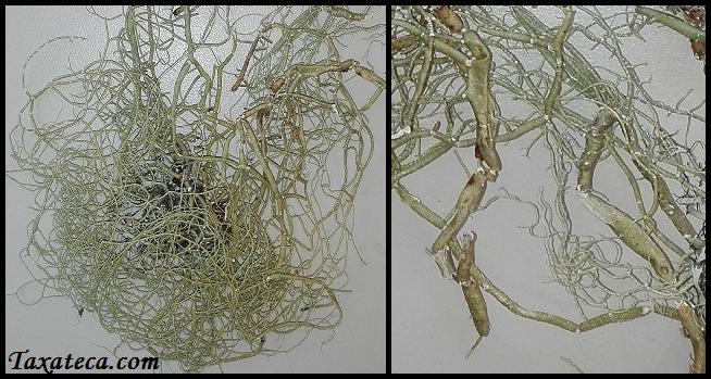 Usnea articulata Usnea_articulata2