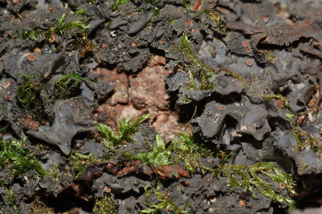 Leptogium cyanescens Leptogium_cyanescens2