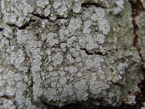 Pertusaria albescens Pertusaria_albescens2
