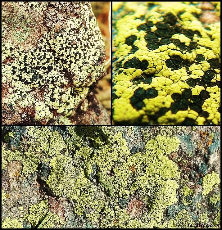 Rhizocarpon geographicum Rhizocarpon_geographicum