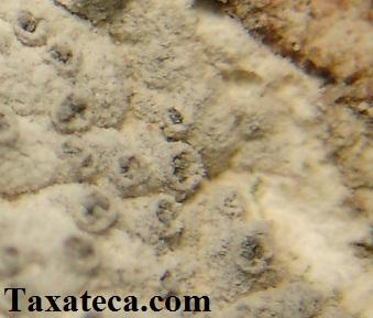 Coscinocladium gaditanum Coscinocladium_gaditanum2