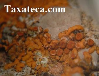 Variospora thallincola Variospora_thallincola2