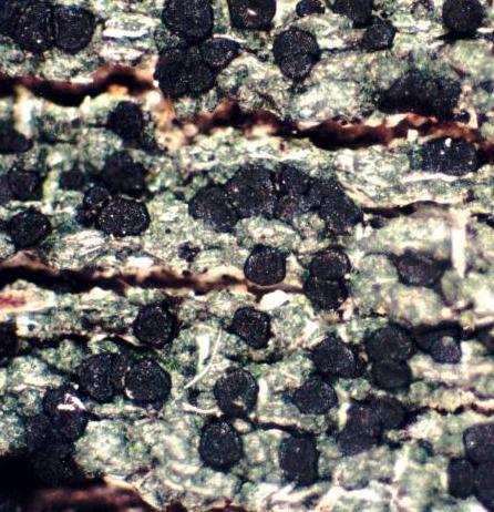 Trapeliopsis flexuosa Trapeliopsis_flexuosa