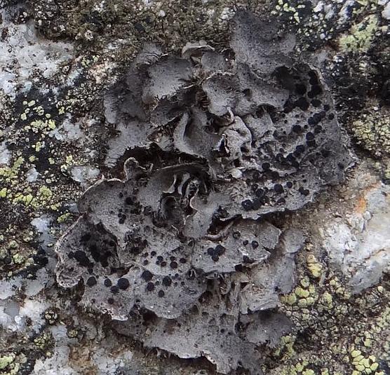Umbilicaria cylindrica Umbilicaria_cylindrica