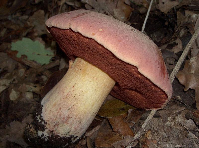 Boletus lupinus Boletus_lupinus