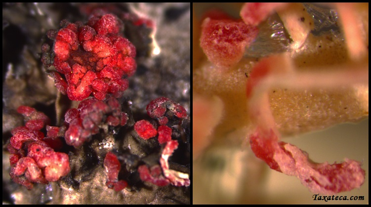 Marchandiomyces corallinus Marchandiomyces_corallinus