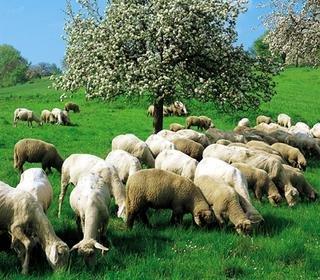 Koyun Resimleri Koyun2%201