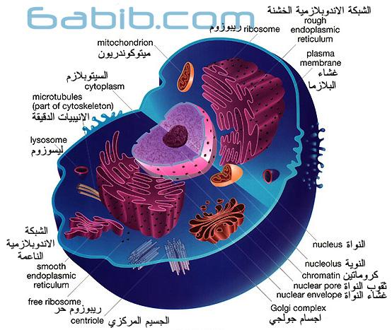 الخلية The Cell  Animal_cell