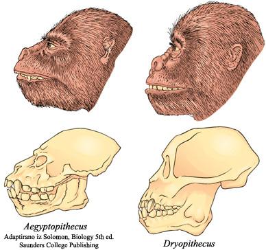 Od gmazova do hominida Aegyptopithecus_and_Dryopithecus