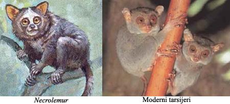 Od gmazova do hominida Tarsiiformes