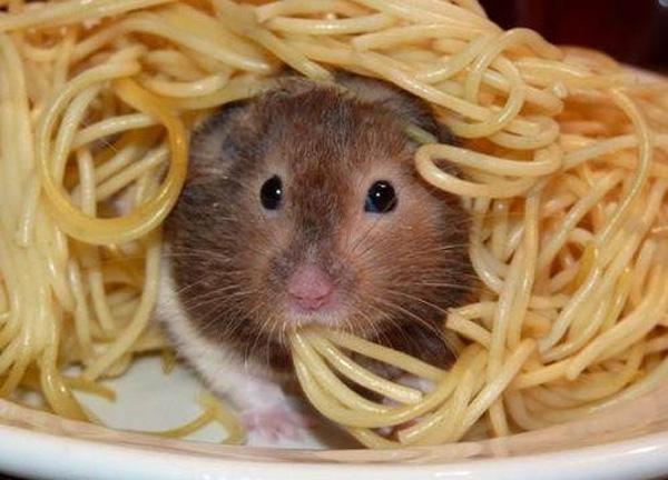Dvoboj slika  - Page 5 Spaghetti_hamster