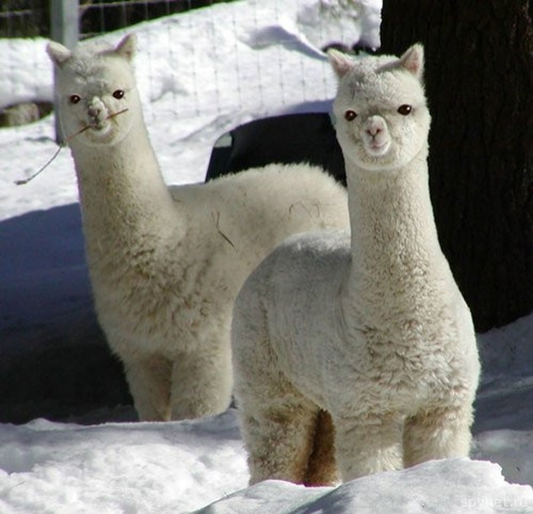 Zèbre, une appellation horrible Two_alpacas_in_snow