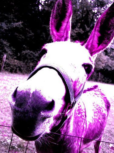"POOFness for NOV 2: ""The Republic"" Purple_donkey"