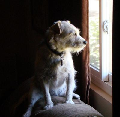 Čekajući na prozoru svoje vlasnike! - Page 2 Dog-Looking-Out-Window