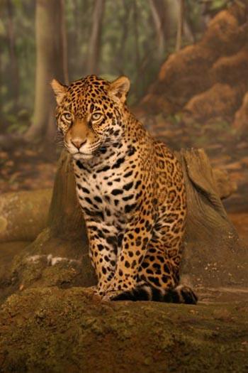 Jaguar Jaguar_2