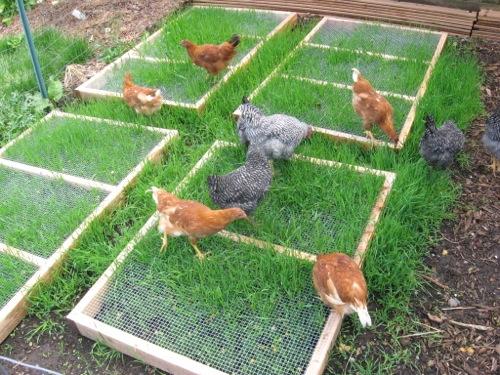 Besoin de conseil pour un paillage dans le poulailler  Chicken-coop-grazing-plans