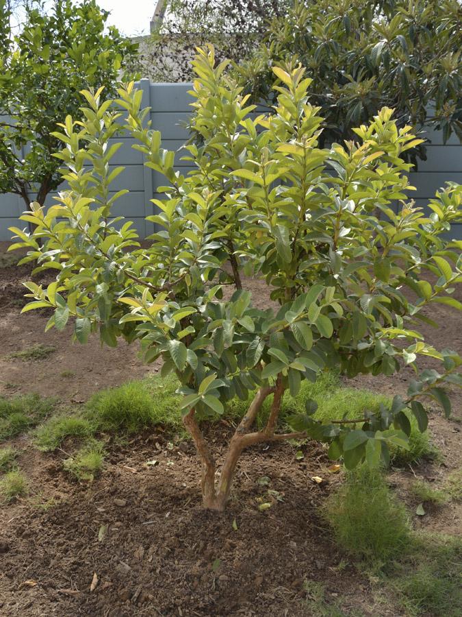 Plantation d'arbre fruitier  Guava-tree-after-01