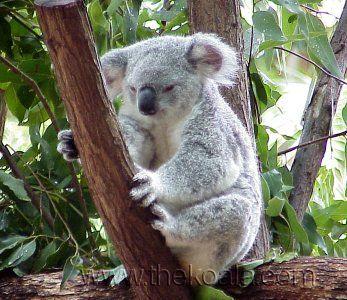 l'animal de Martin du 26 novembre trouvé par Sylvie et Martine - Page 2 Ko-koalaqld1wp