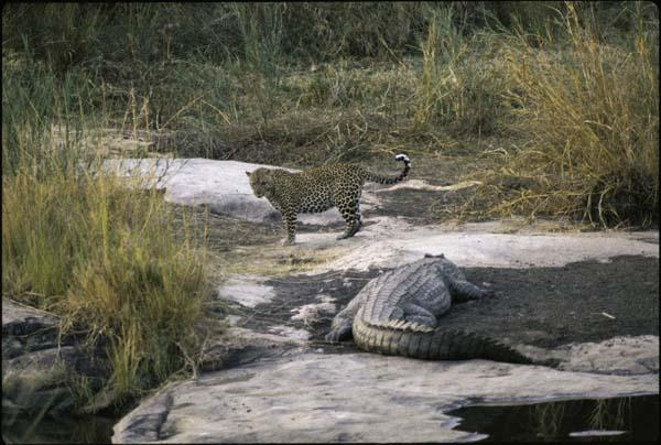 Jaguar venezuelano VS Leopardo macho monstro - Página 2 Leopard_and_crocodile_sabi_sand_reserve_mpumalanga_province_south_africa_photo_d_allen