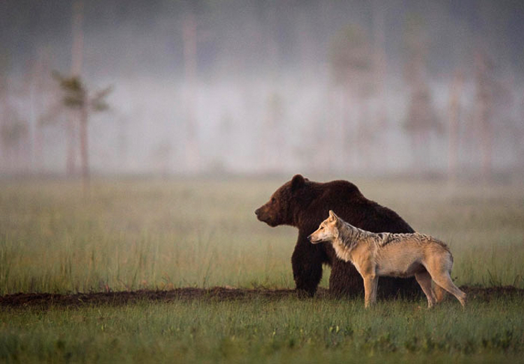 Bear & Wolf Become Besties! 11_bear-and-a-wolf-best-friends