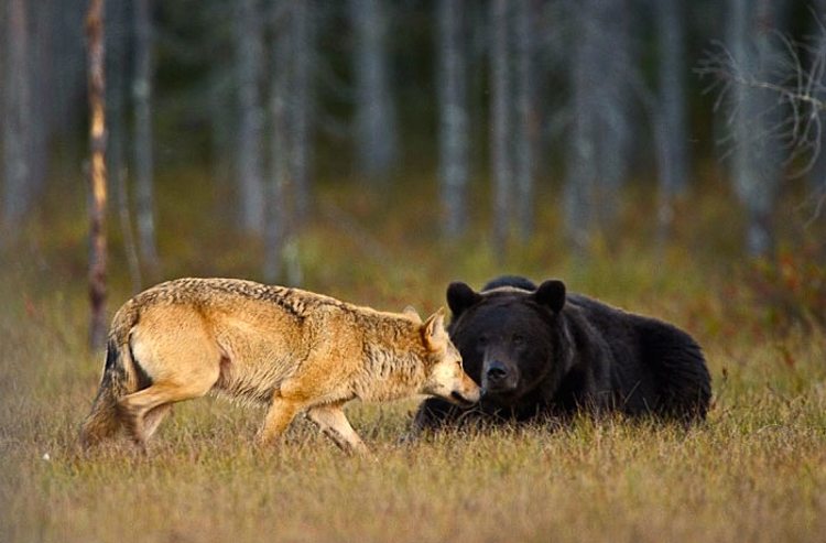 Bear & Wolf Become Besties! 2_bear-and-a-wolf-best-friends