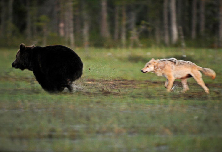 Bear & Wolf Become Besties! 4_bear-and-a-wolf-best-friends