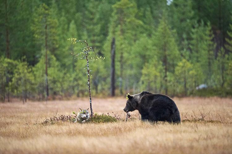 Bear & Wolf Become Besties! 5_bear-and-a-wolf-best-friends