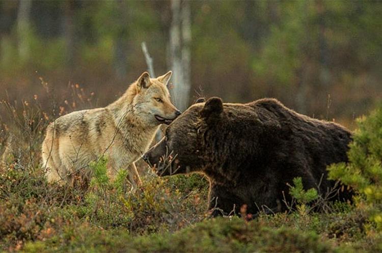 Bear & Wolf Become Besties! 6_bear-and-a-wolf-best-friends
