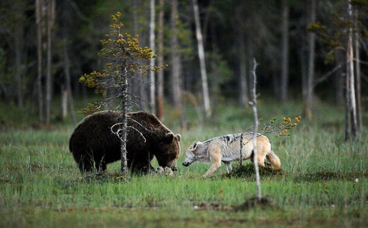 Bear & Wolf Become Besties! 7_bear-and-a-wolf-best-friends
