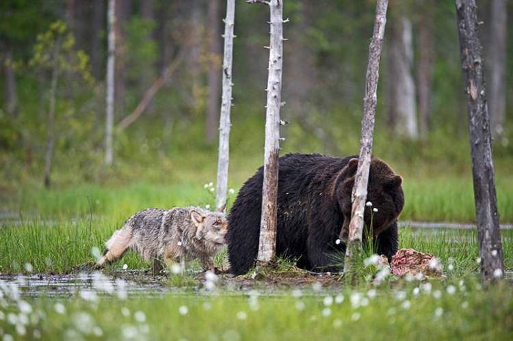 Bear & Wolf Become Besties! 8_bear-and-a-wolf-best-friends