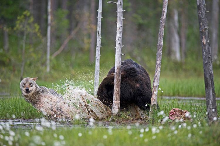 Bear & Wolf Become Besties! 9_bear-and-a-wolf-best-friends