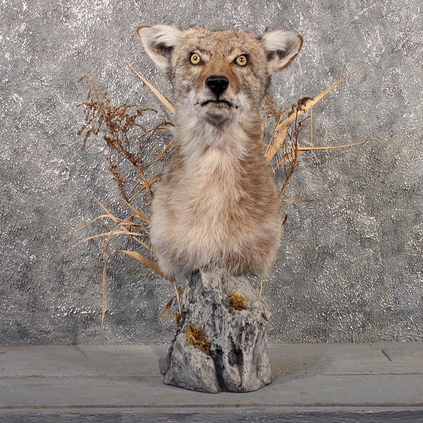 Mátame, camión! (El Tópic de la Taxidermia Chunga) - Página 9 Coyote-pedestal-taxidermy-mount-_11518-for-sale-_-the-taxidermy-store