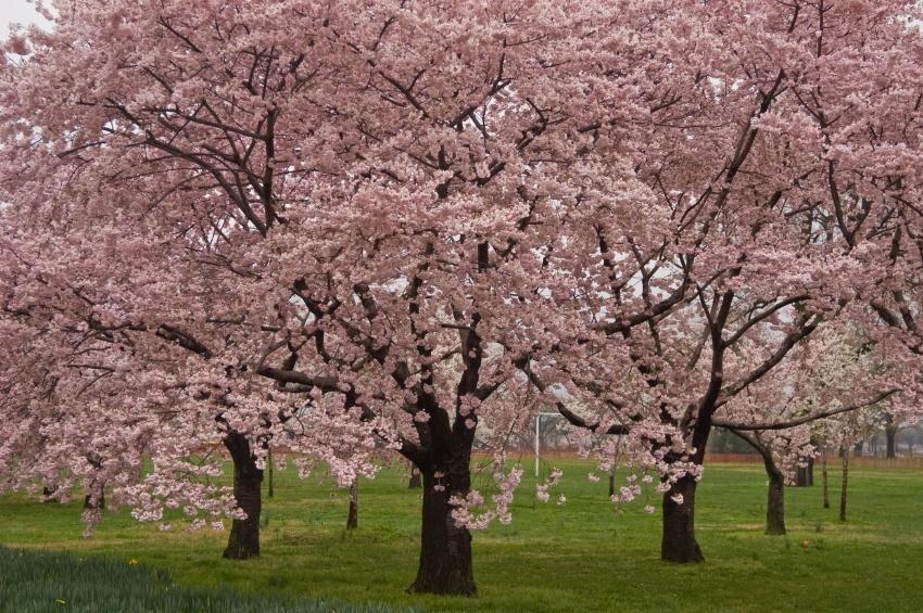 LA PRIMAVERA LLEGO¡!! - Página 17 Okame-cherry-tree-1