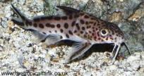 بعض  صور من انواع الاسماك للزينه Synomul2
