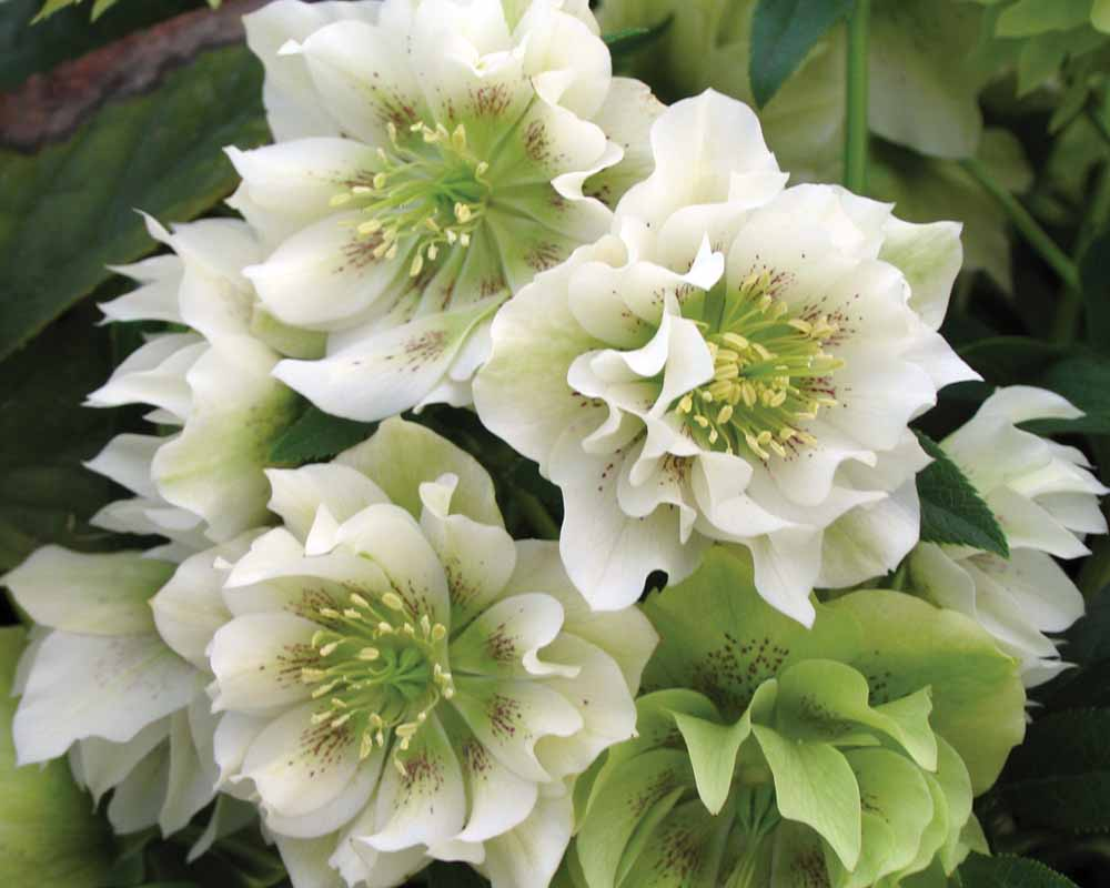 Winter Flowers Perennial_m_helleborus%20x%20hybridus%20swirling%20skirts9