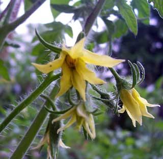ملف كامل عن زراعة الطماطم  - صفحة 2 Tomato-blossom-flower-746884