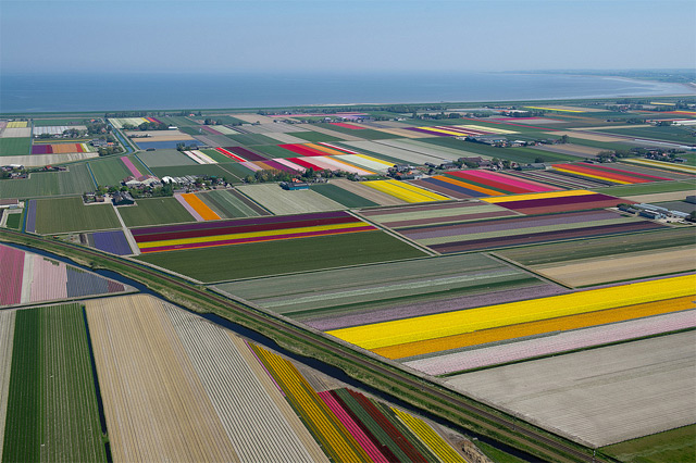 Holandija Tulips-6